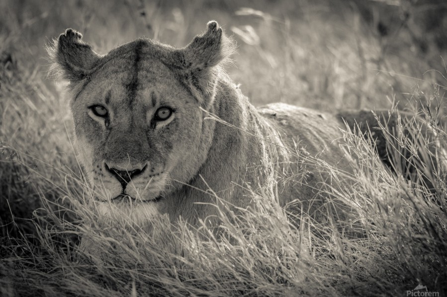 Lioness in the sun  Print