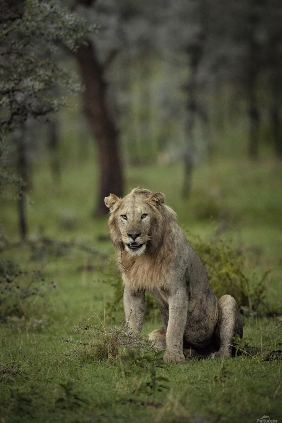Lion under Rain by www.jadupontphoto.com  Print