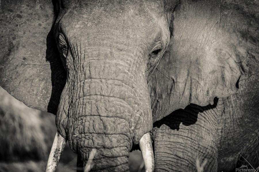 Elephant Portrait  Print