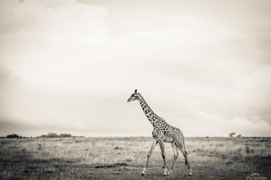 Zebrascape  Print