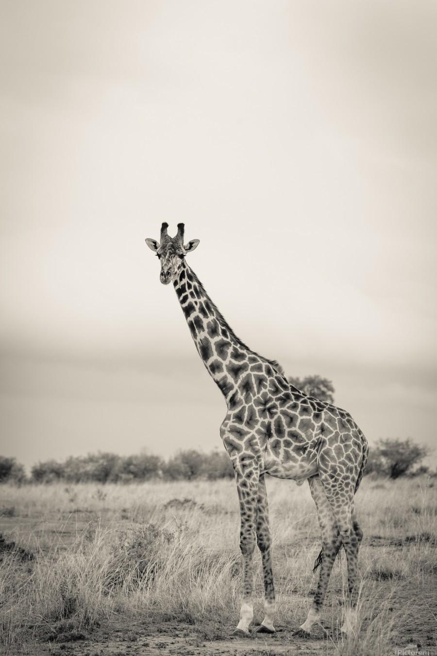 Majestic Giraffe by www.jadupontphoto.com  Print