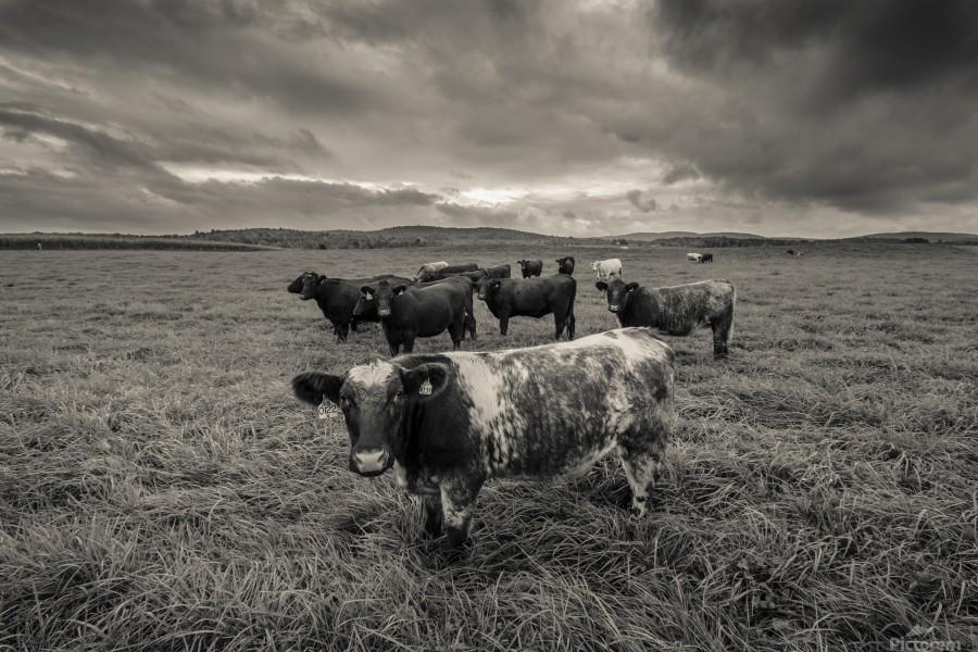 Cowscape  Print