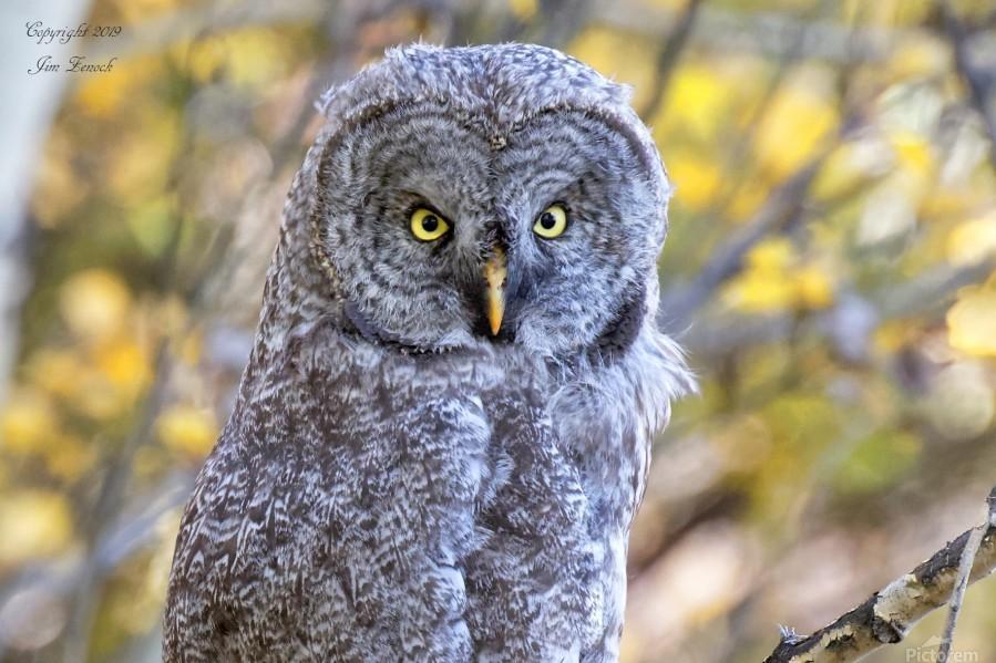 Owls  Print