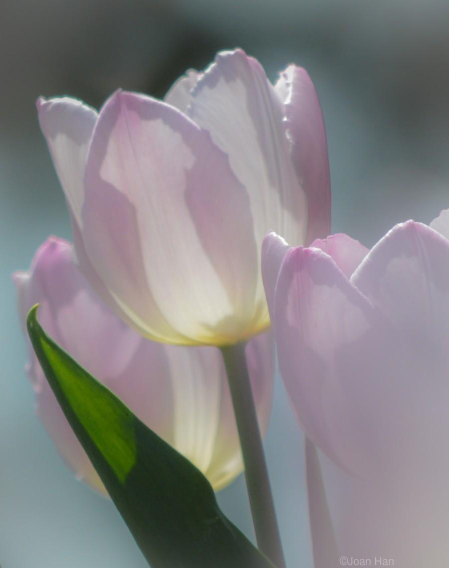 Pale Pink Tulips  Print
