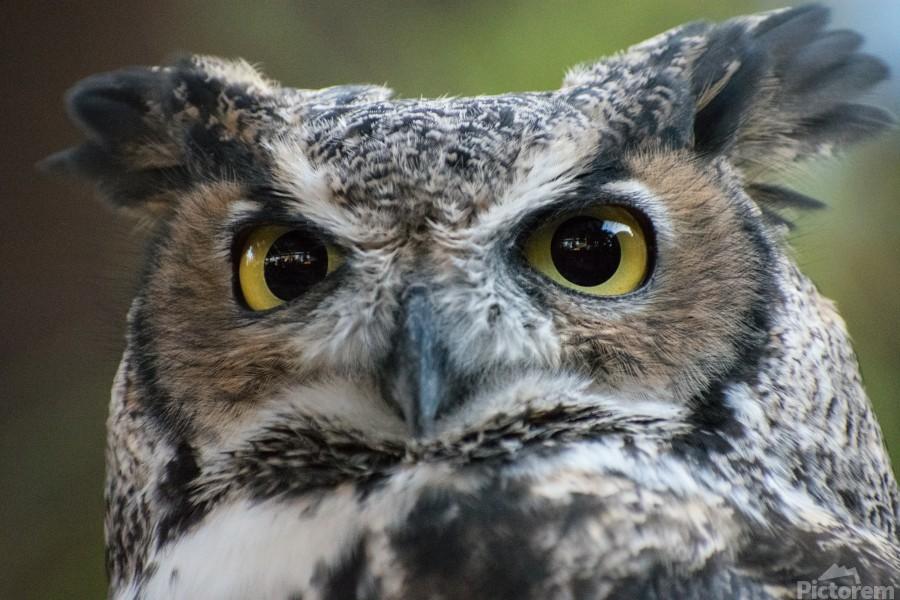 Owl  5  Print