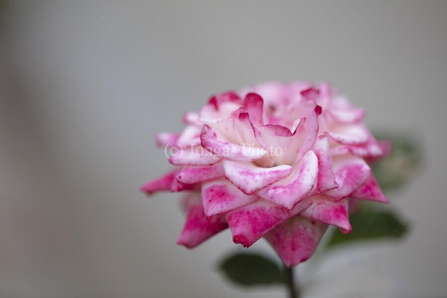 Desert rose  Print