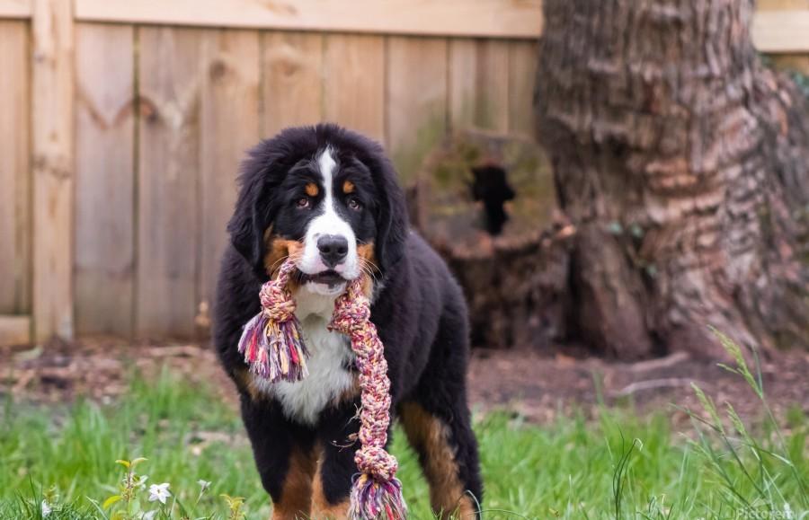Bernese Mountain Dog Puppy 8  Print