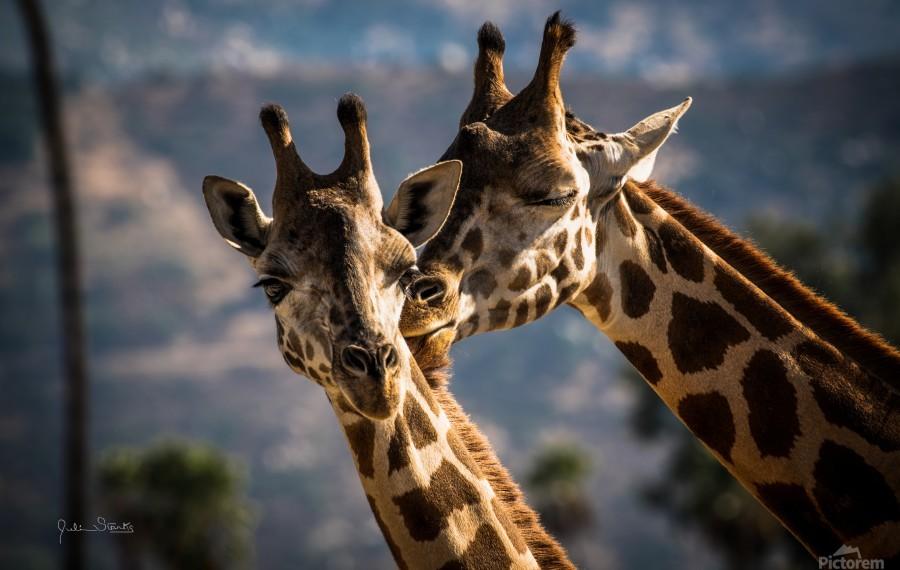 Loving Giraffes  Print