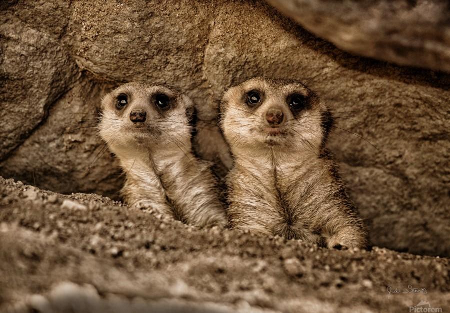 The Meerkat Twins  Print