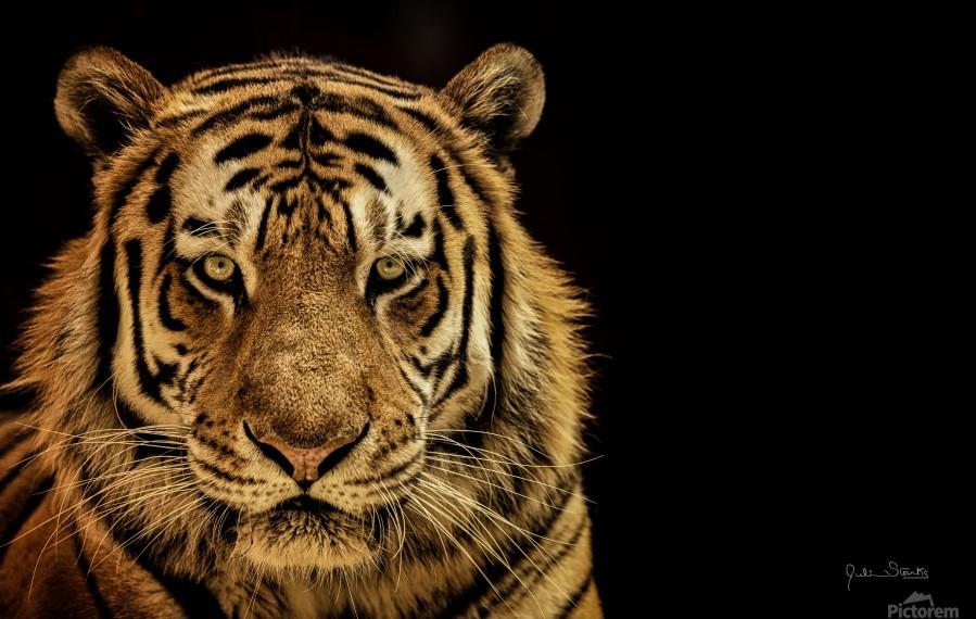 Massive Siberian Amur Tiger   Print