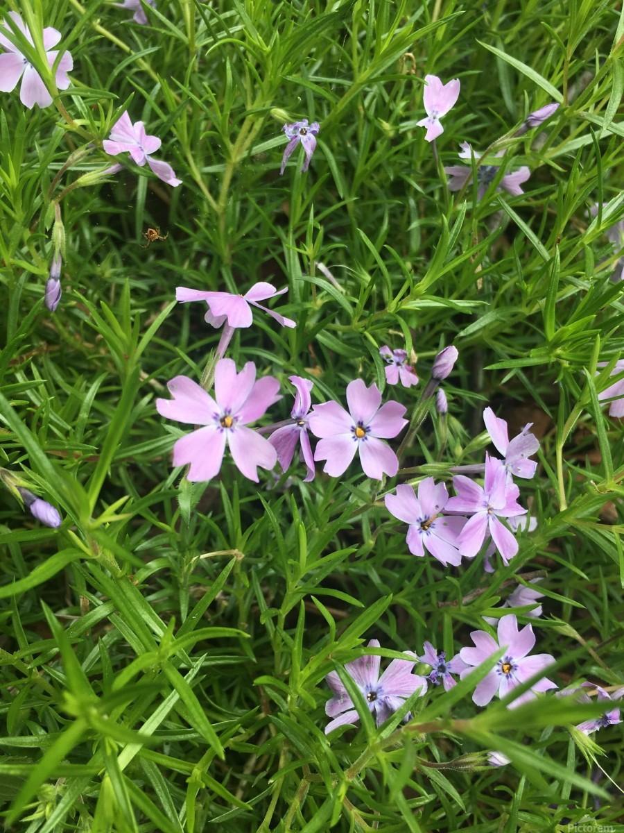 Purple Wild flowers  Print