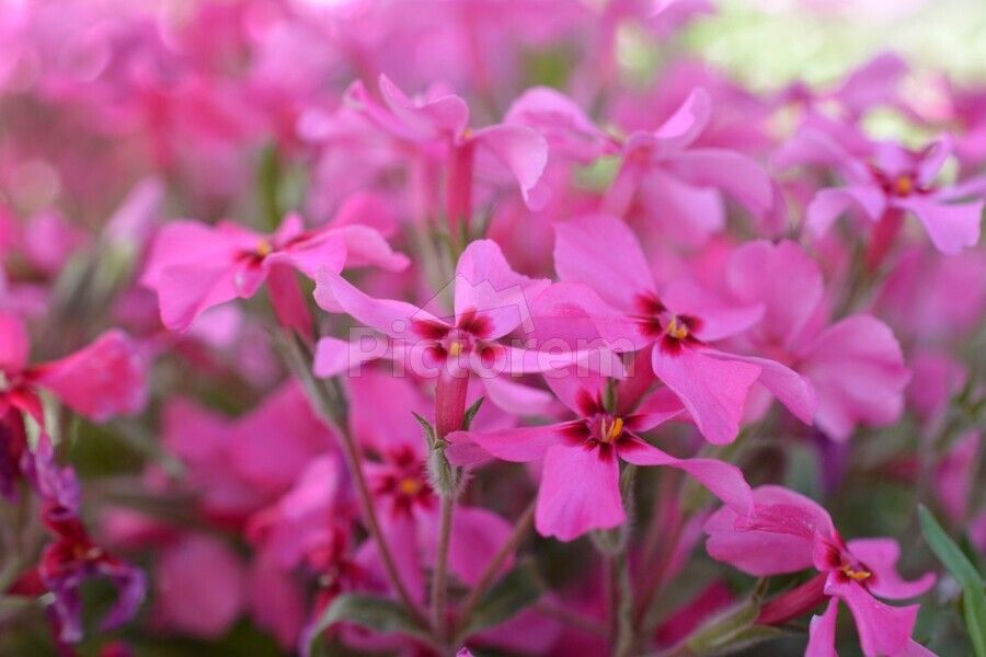Pink Flowers Photograph  Print