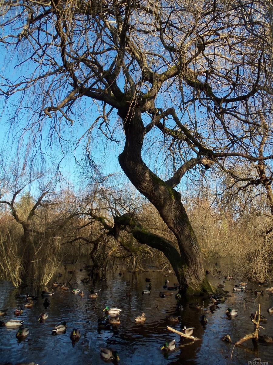 Bow Park duck pond  Print