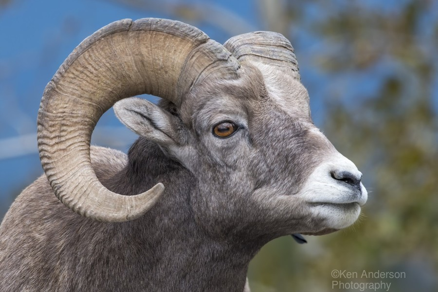 Big Horn Sheep - Portrait  Print