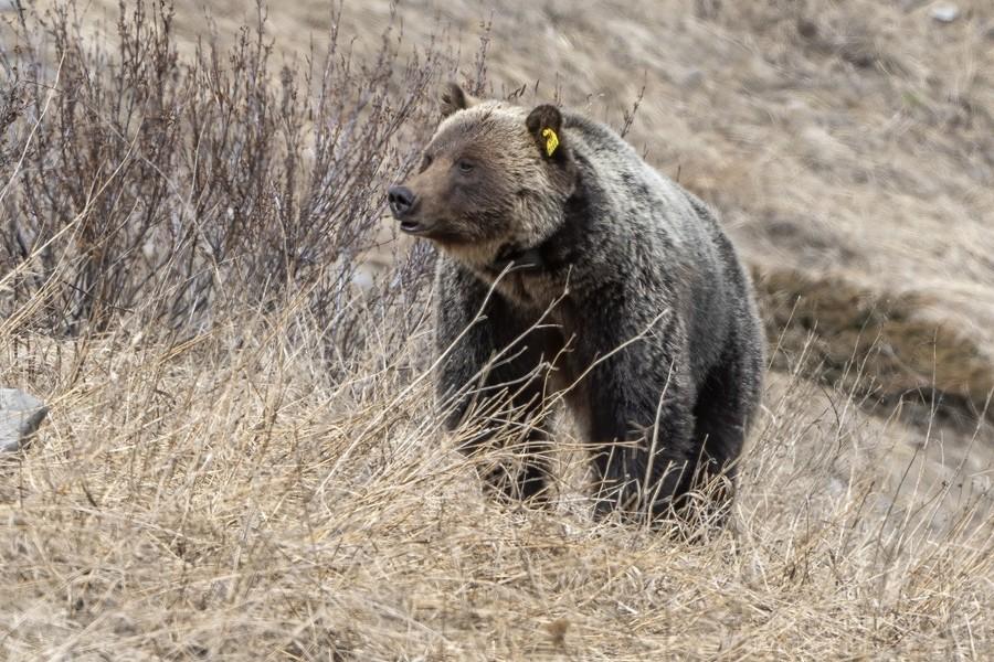 6897 - Grizzly Bear 2160  Print