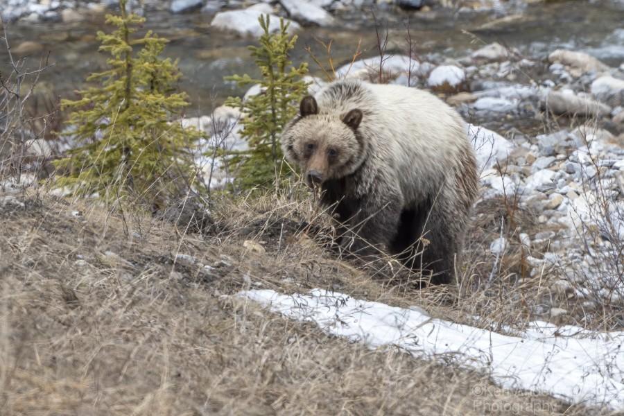 6944 - Grizzly Bear  Print