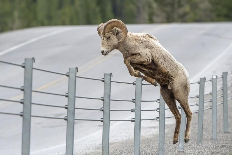 7585 - Bighorn Sheep - Kananaskis Country Alberta. Canada  Print
