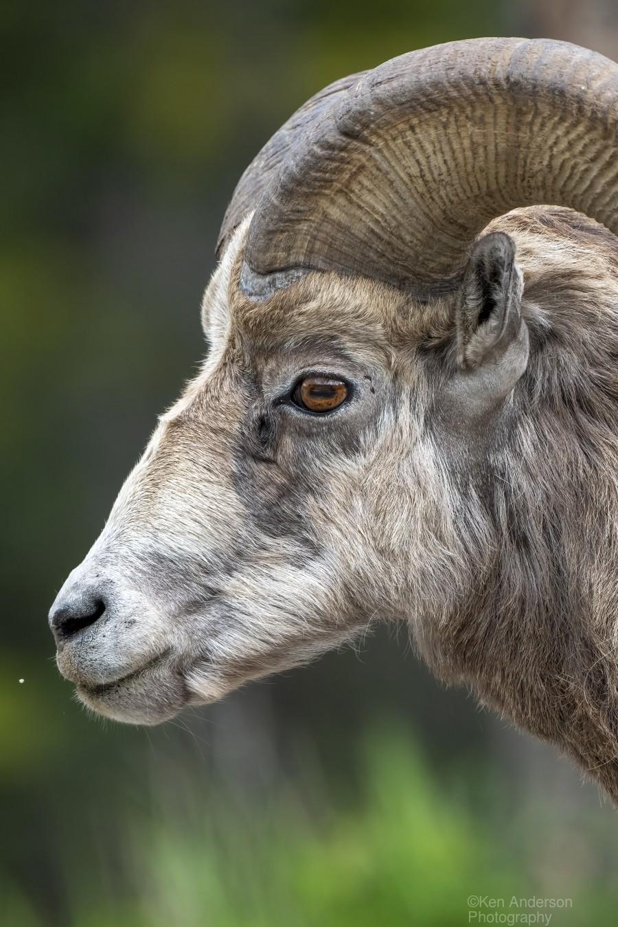 5512 - Big Horn Sheep  Print