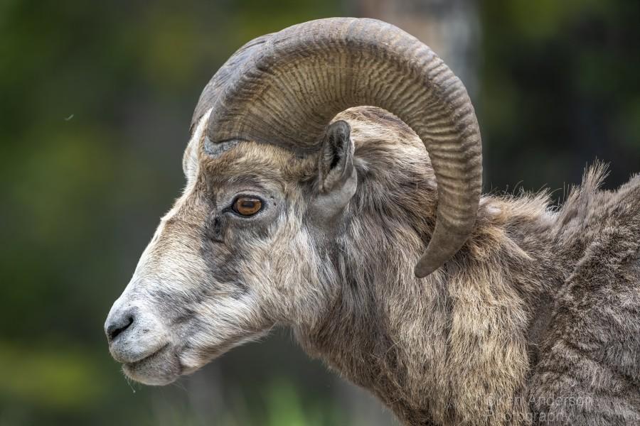 5513 - Big Horn Sheep  Banff National Park Canada  Print