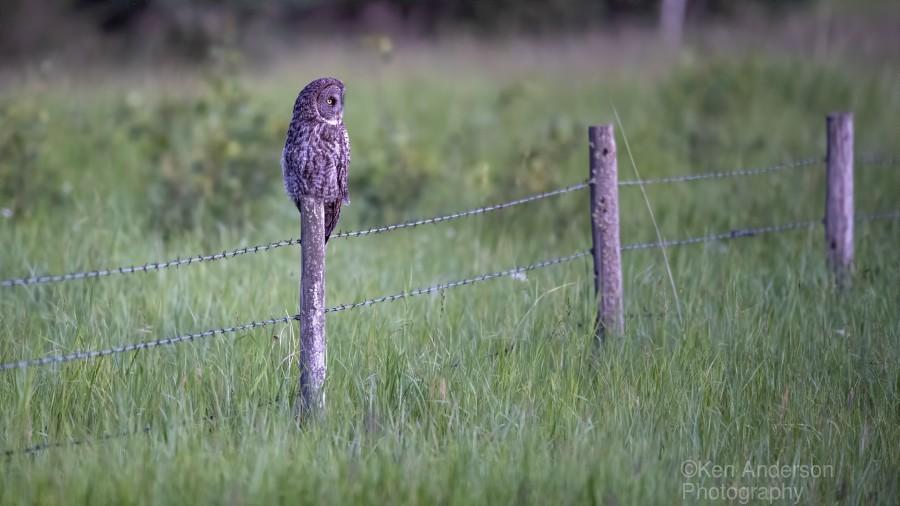 0077 - Great Grey Owl Fence Line Hunter  Print