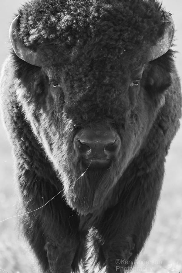 7893 - Buffalo  Print