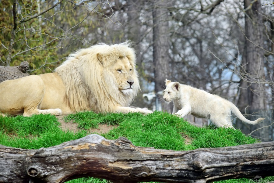 White Lion with Baby  Print
