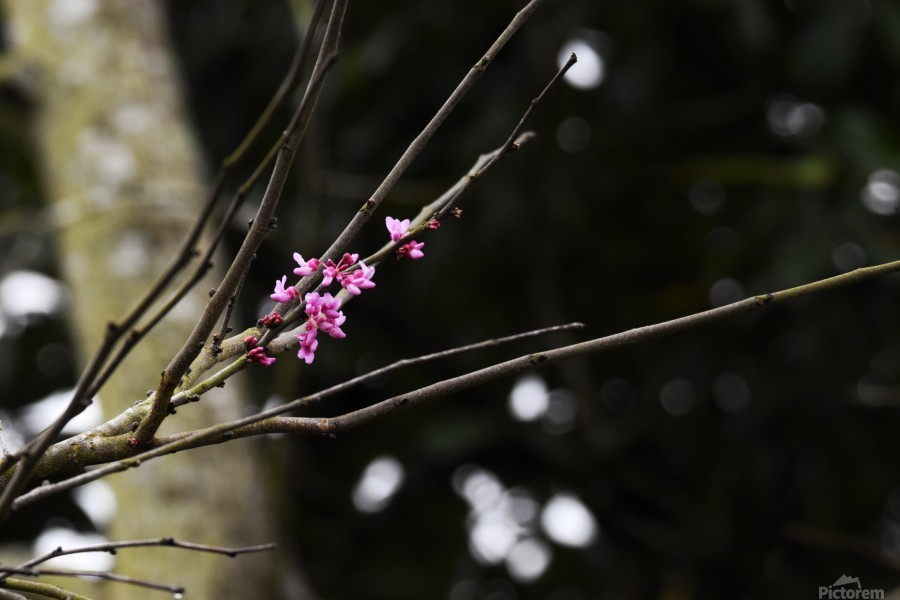 Pink Blossoms  Print