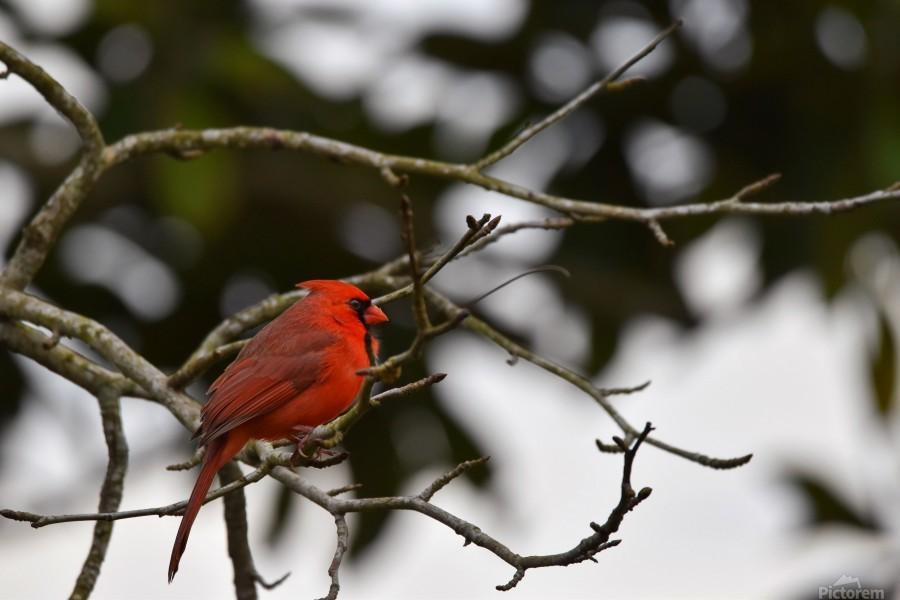 Cardinals 4  Print