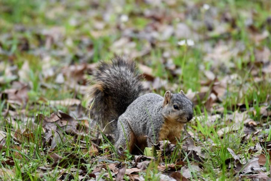 Squirrel 2  Print