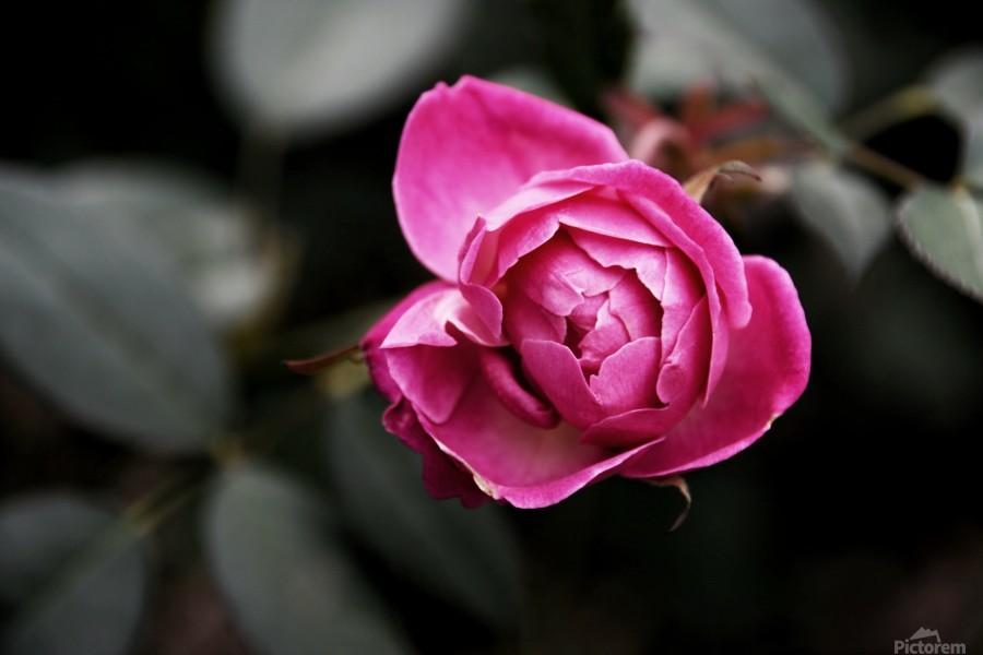 Single Rose  Print