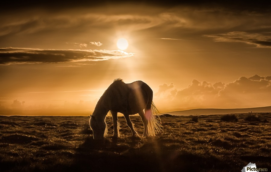 Gower pony at sunset on Cefn Bryn Gower  Print