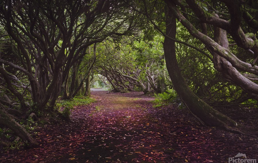 Rhododendron arched walkway  Print