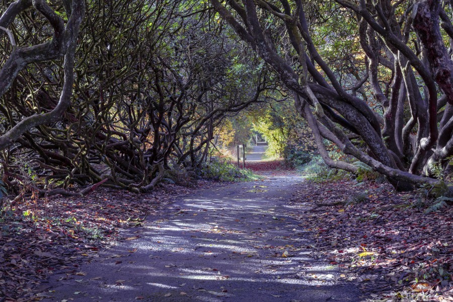 Tree lined Rhododendron walkway  Print