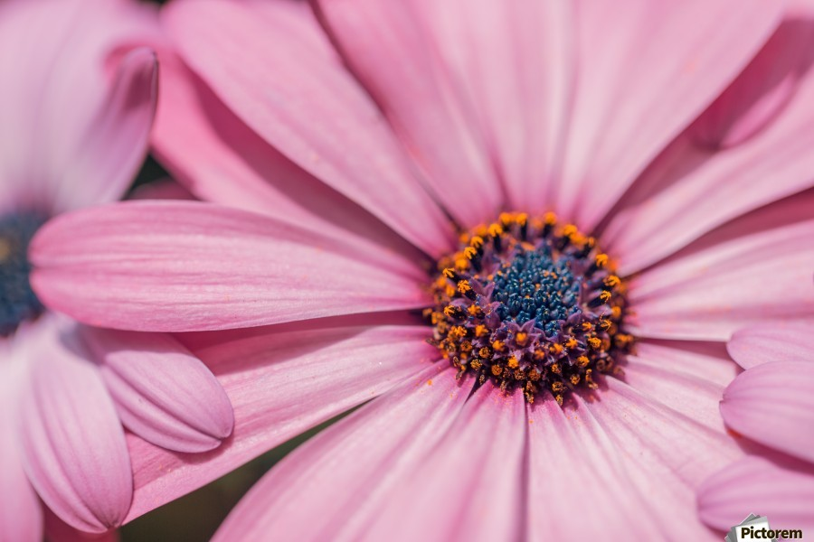 Gerbera flower background  Print
