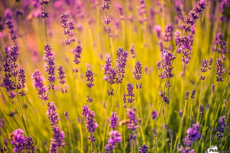 Beautiful Sunset lavender flowers  Print