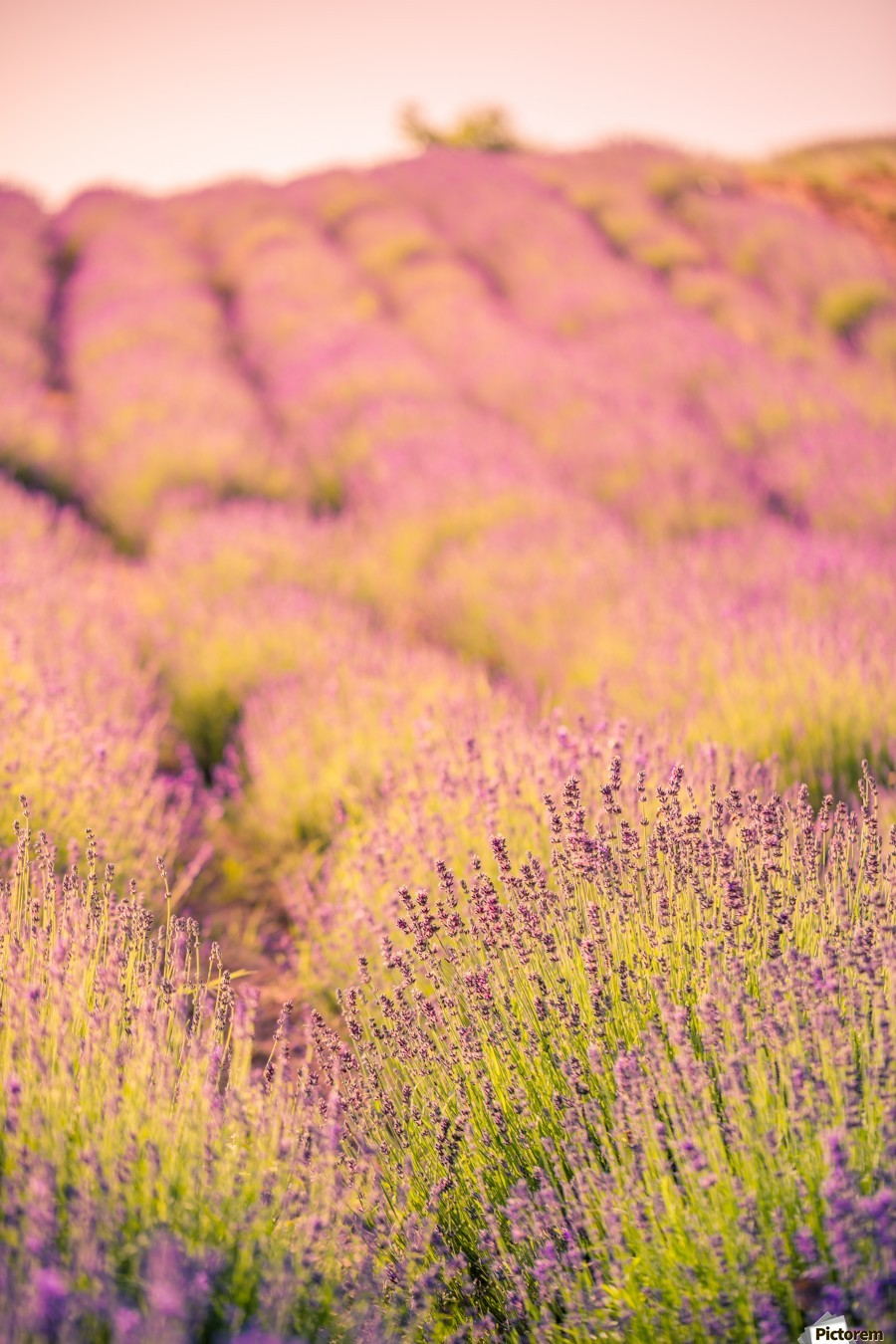 Beautiful Sunset lavender flowers on a field  Print