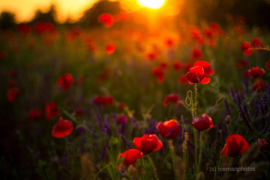 Beautiful Sunset poppy flowers  Print