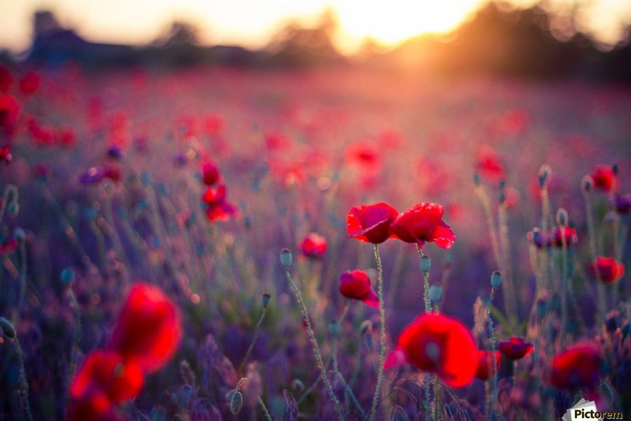 Beautiful Sunset poppy flowers  Print