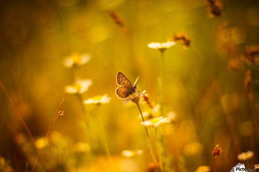 Golden sunset. Daisy and butterfly  Print