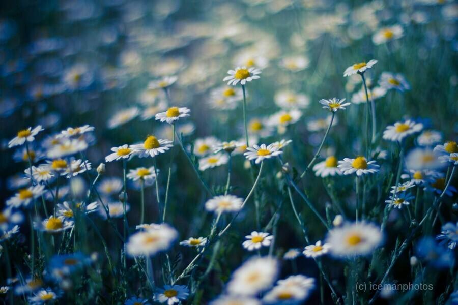 Summer, spring daisy field  Print