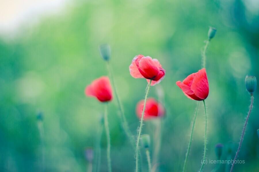 Summer poppy flowers  Print