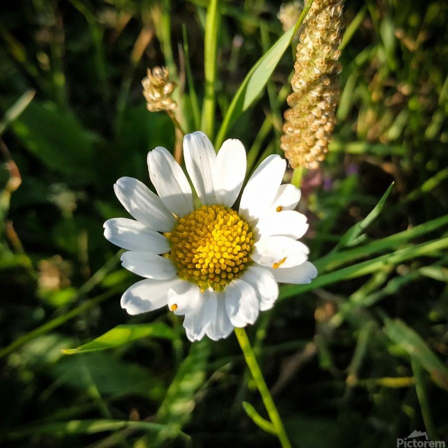 Little daisy in grass  Print