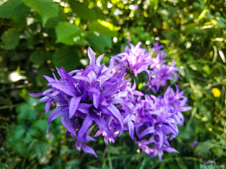 Violet flowers  Print