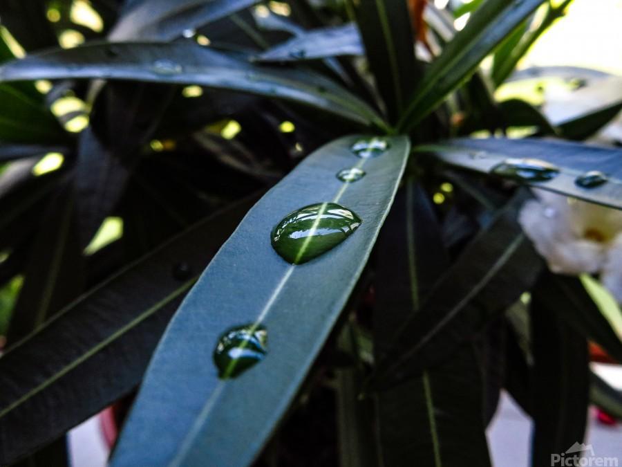 Raindrop on a green leaf  Print