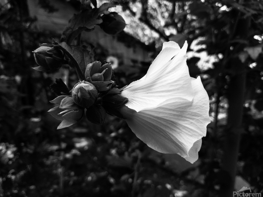 Blooming flower in black and white  Print