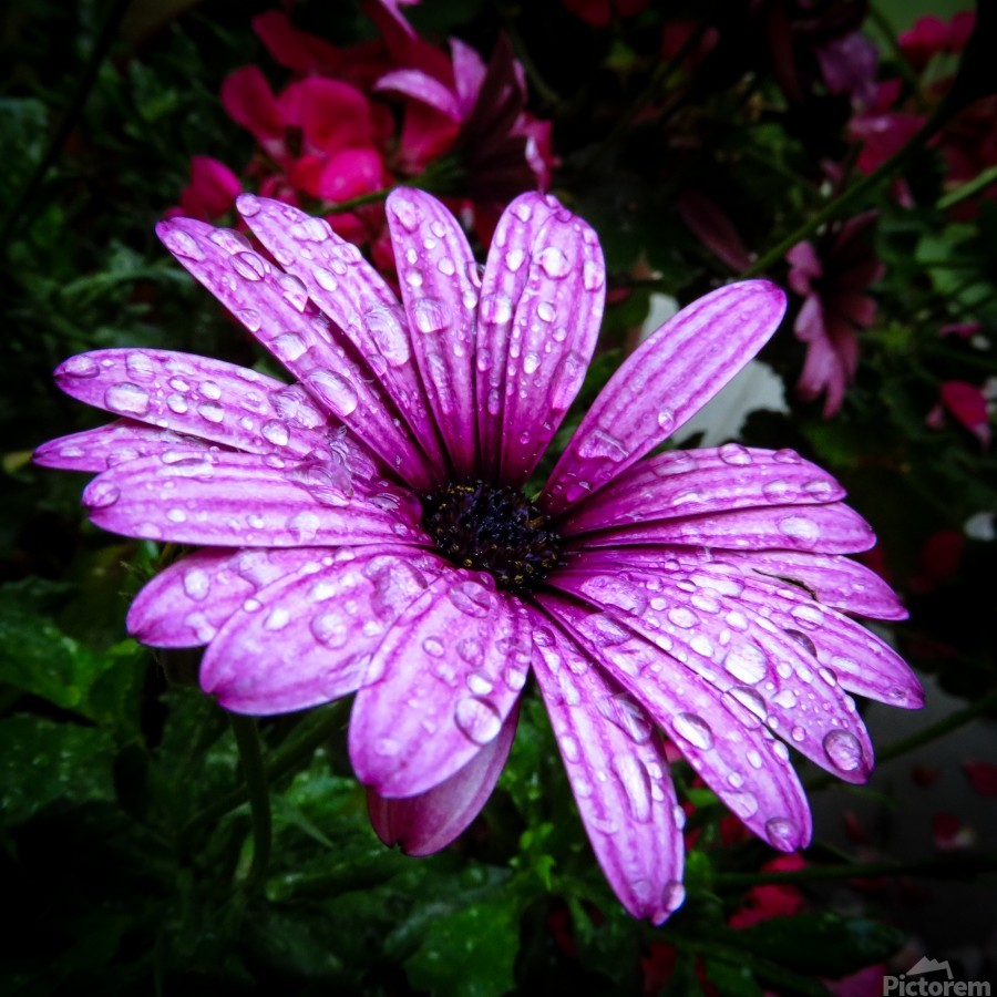 Violet flower with raindrops  Print