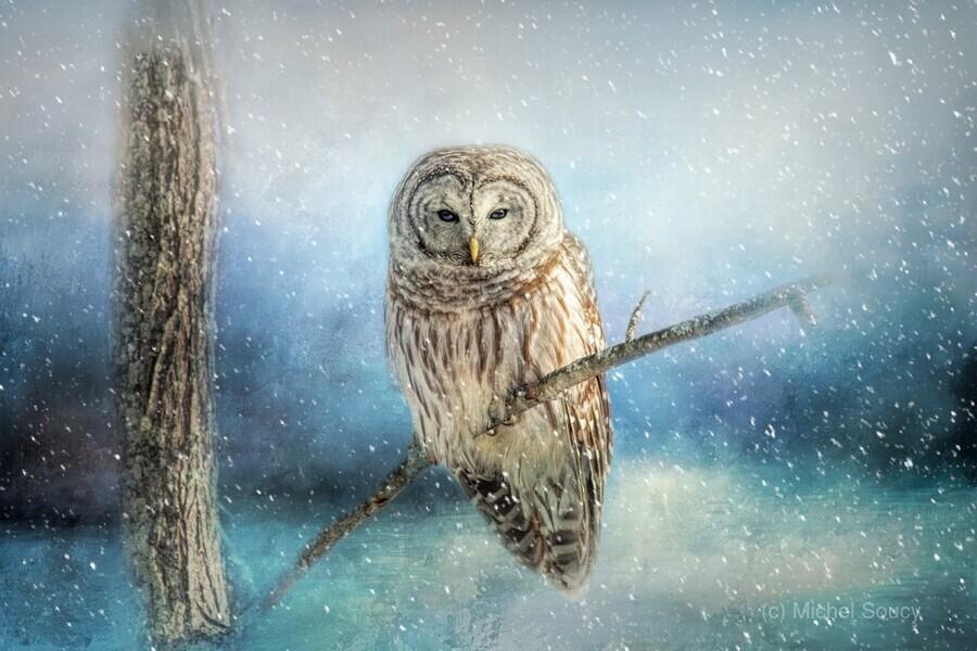 Barred Owl Solitude  Print
