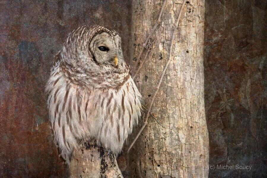 Barred Owl in Grunge  Print