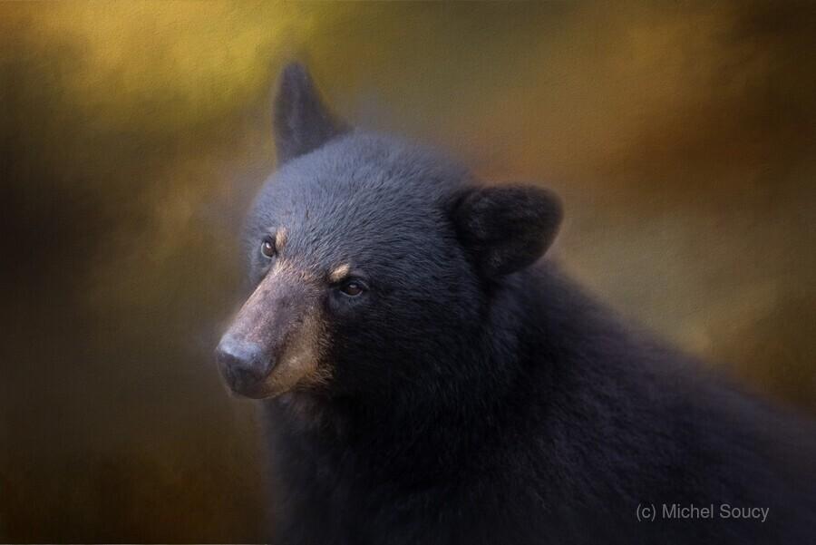 Black Bear Portrait  Print