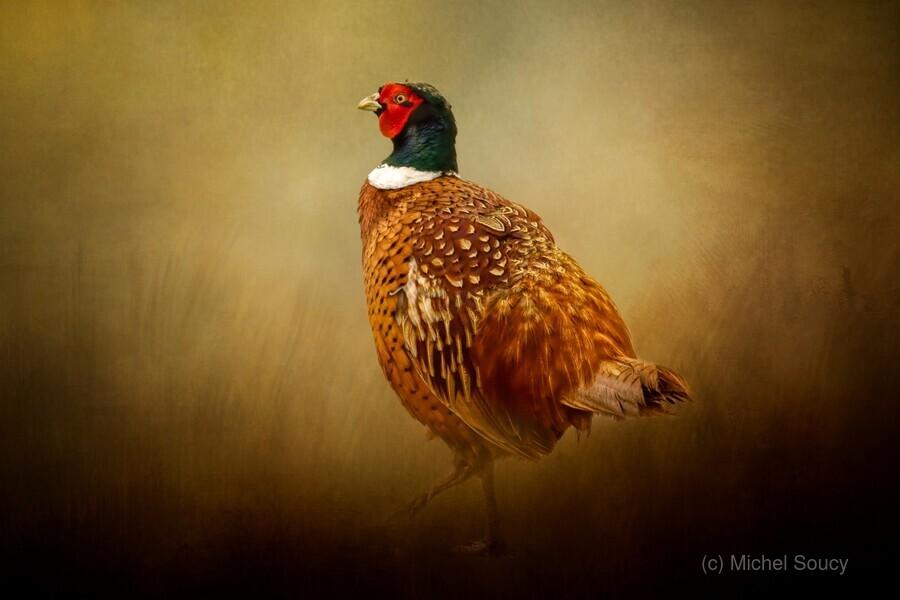 Ring Necked Pheasant  Print